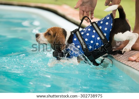 Puppy Beagle's going to swim for the first time - stock photo