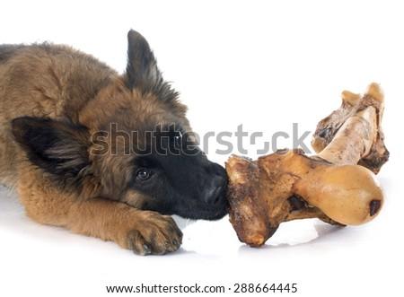 puppy Belgian Shepherd Tervuren and bone in front of white background - stock photo