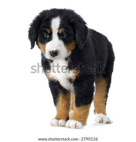 Puppy Bernese mountain dog in front of white background