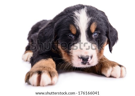 Puppy Bernese Mountain Dog newborn. animal isolated on white background
