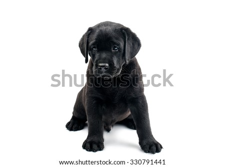 Puppy Black Labrador on a white background - stock photo