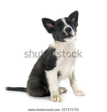 puppy border collier in front of white background