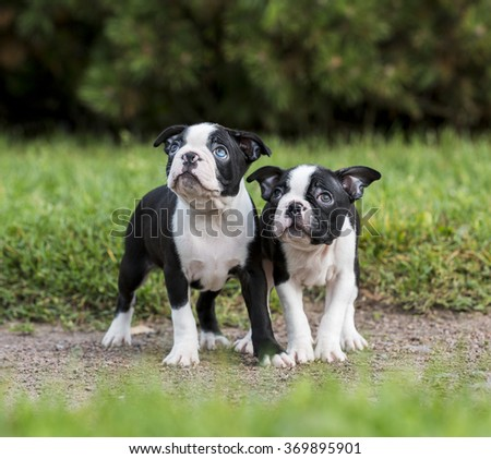 puppy Boston Terrier in the Park - stock photo