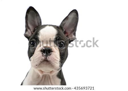 Puppy Boston terrier portrait in a white photo studio - stock photo