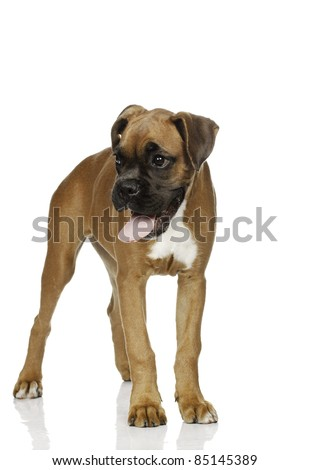 puppy Boxer in  white background - stock photo