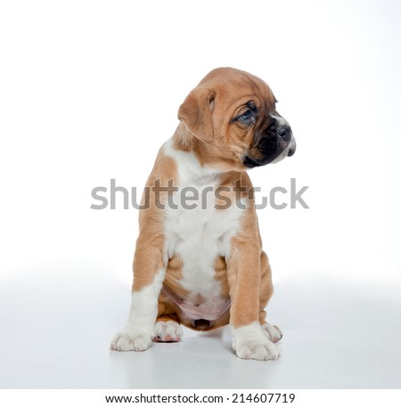 Puppy Boxer, 2 months old, white background, studio shot