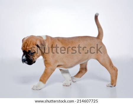 Puppy Boxer, 2 months old, white background, studio shot - stock photo