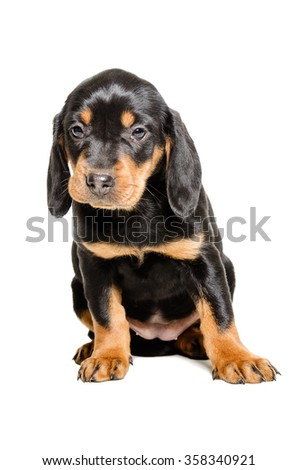 Puppy breed Slovakian Hound sitting isolated on a white backgroun  - stock photo