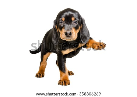Puppy breed Slovakian Hound standing with a raised paw, isolated on white background - stock photo