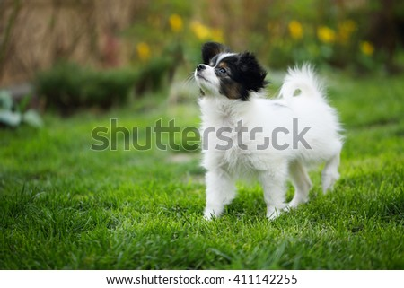 Puppy breeds Papillon on the green grass - stock photo