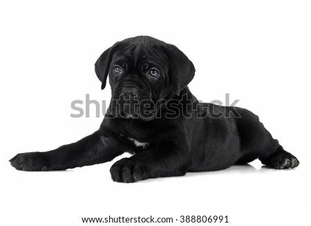 puppy Cane Corso on white background isolated. - stock photo
