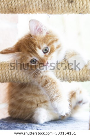 Puppy cat of siberian breed on the scratching post, red version