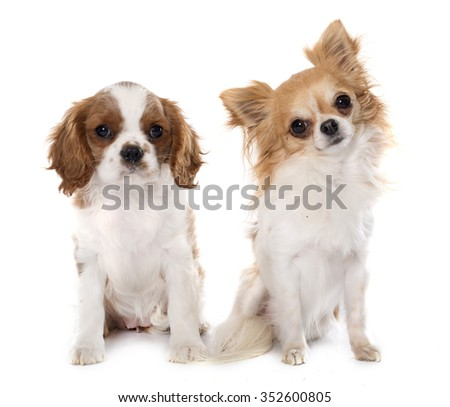 puppy cavalier king charles and chihuahua in front of white background