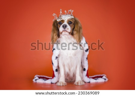 Puppy Cavalier King Charles Spaniel in a suit of the Queen on orange isolated background  - stock photo