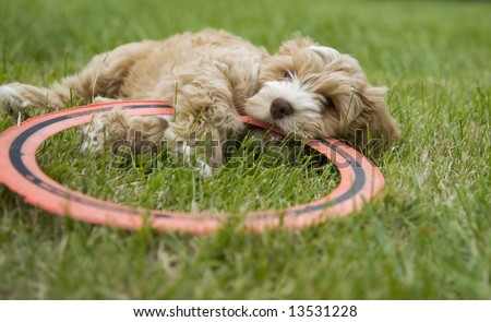 Puppy chewing on a disc - stock photo