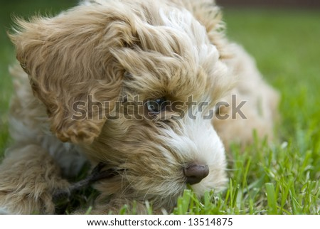 puppy chewing on a stick - stock photo