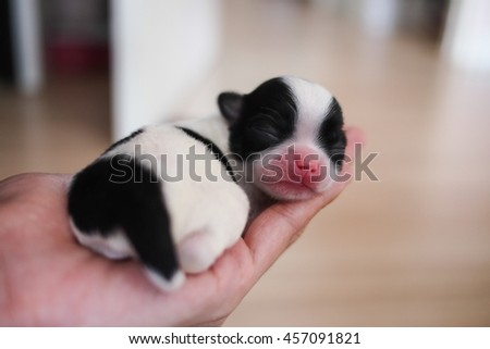 puppy chihuahua - stock photo