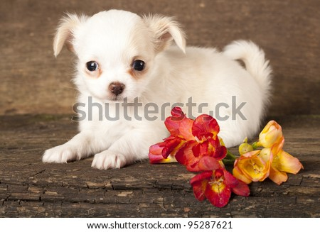 puppy Chihuahua and spring flowers - stock photo