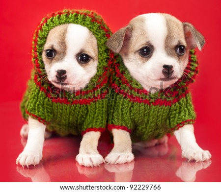 puppy chihuahua dressed  sweater  in red background - stock photo