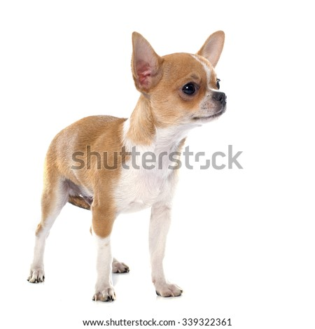 puppy chihuahua in front of white background - stock photo