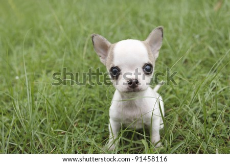 Puppy chihuahua sitting at the grass - stock photo