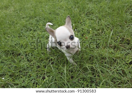 Puppy chihuahua walking at the grass - stock photo