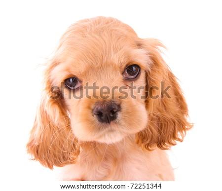 Puppy cocker spaniel on a white background - stock photo