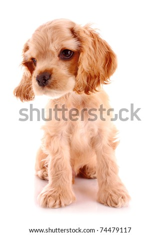 Puppy cocker spaniel on a white background - stock photo