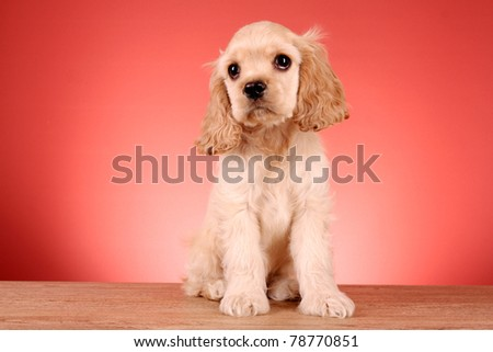 puppy cocker terrier insulated red - stock photo