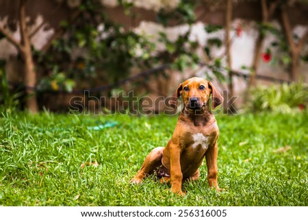 Puppy dachshund dog sitting on a grassy yard - stock photo