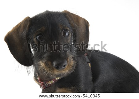 puppy dachshund in the studio
