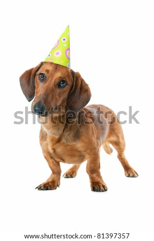 Puppy dachshund With birthday party hat isolated on white background - stock photo