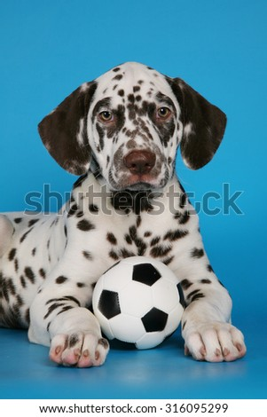 Puppy dalmatian with the ball - stock photo