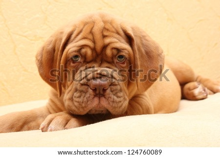 puppy dog - stock photo