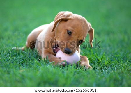 puppy dog ??bites a ball in a meadow - stock photo