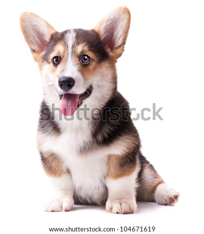 puppy dog breed Welsh Corgi, Pembroke on white - stock photo