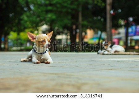 Puppy, dog, cute Chihuahua - focus on front - blurred background. - stock photo
