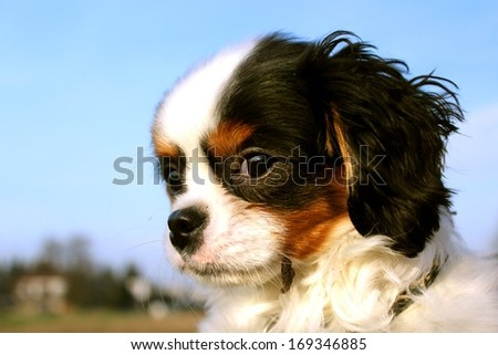 puppy dog face close-up - King charles cavalier spaniel - stock photo