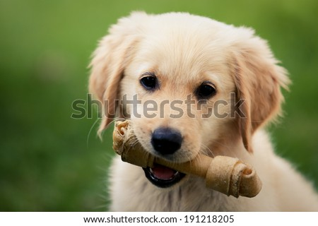 Puppy dog holding his chewing toy in his mouth. - stock photo