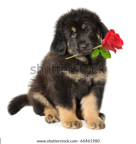 Puppy dog holding red rose in its mouth isolated on white - stock photo
