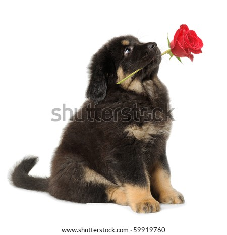 Puppy dog holding red rose in its mouth, looking up, isolated on white - stock photo