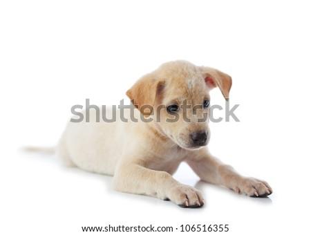puppy dog isolated on white - stock photo