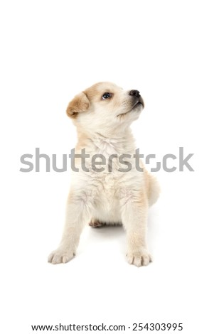 Puppy dog looking up against a white background - stock photo