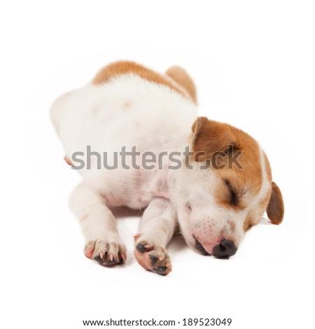 puppy dog lying isolated on white background - stock photo