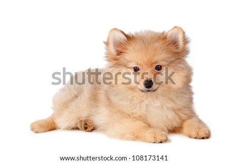 Puppy dog of Pomeranian breed on a white background. - stock photo