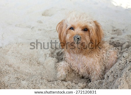 puppy dog  on beach - stock photo