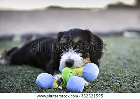 Puppy Dog playing with a toy - stock photo