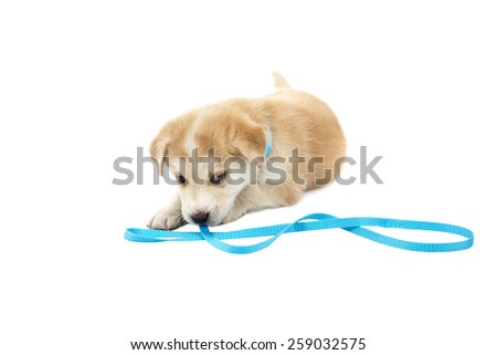 puppy dog playing with his collar against a white background - stock photo