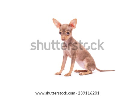 Puppy dog Russian Toy Terrier sitting isolated on white background in studio
