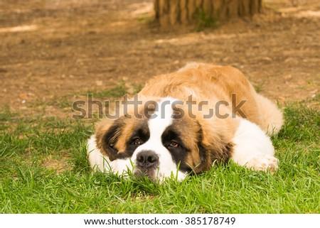 Puppy dog Saint Bernard breed portrait. - stock photo
